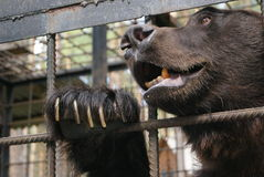 Brown bear in cage. Cell zoo Stock Photo