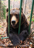 Brown bear in a cage Stock Photo
