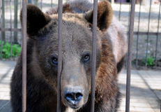 Brown Bear in Cage. Is staring at the photographer Stock Images