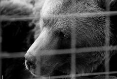 Brown bear in cage Royalty Free Stock Photos