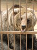 Brown bear in a cage Royalty Free Stock Photography
