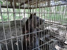 Brown bear in a cage of iron rods. Animal in captivity stock photography