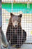 Brown bear look at the camera lens in the animal Park. zoo royalty free stock photo