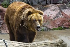 The brown bear came out of the cave Stock Photo