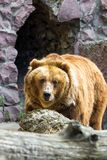 The brown bear came out of the cave Royalty Free Stock Photography