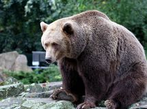 Brown Bear Canada. Brown bear stood on rocks in Canada. The brown bear (Ursus arctos) is an omnivorous mammal of the order carnivora, distributed across much of Royalty Free Stock Images