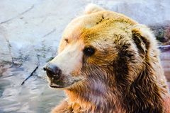 Brown Bear in Captivity Royalty Free Stock Image