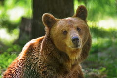 Wild animal in the forest. Portrait of brown bear. Wild animal. Portrait of brown bear. In the forest Stock Photos