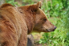 Wild animal. In the forest. Portrait of brown bear royalty free stock photography
