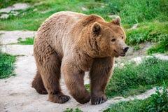 Brown Bear, Carpathian Mountains. Brown bear from Carpathian Mountains, Romania stock photo