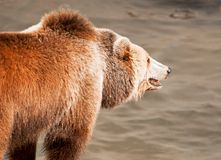 Brown bear catches fish. Brown bear Ursus arctos arctos catches fish. Teal and orange photo filter stock images