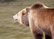 Brown bear catches fish Stock Images