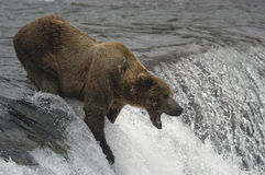 Brown bear catching fish. With his mouth Royalty Free Stock Photos