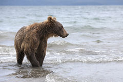 Brown bear catching fish in the lake Royalty Free Stock Photo
