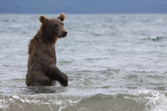 Brown bear catching fish in the lake Royalty Free Stock Photography