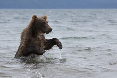 Brown bear catching fish in the lake Royalty Free Stock Image
