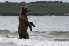 Brown bear catching fish in the lake Stock Images