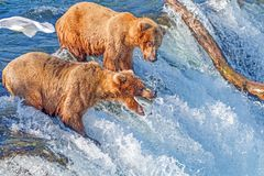 Brown bear catching jumping salmon in mid air at Brooks falls, Katmai National Park, Alaska. Brown bears catching migrating salmon trying to jump up the falls in stock photo