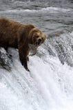 Brown bear catching salmon. From atop of Brooks Falls,Alaska Stock Photography