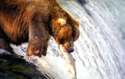 Brown bear catching salmon Royalty Free Stock Photos