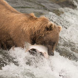 Brown bear catching salmon at Brooks Falls Stock Images
