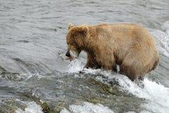 Brown bear catching salmon Royalty Free Stock Image