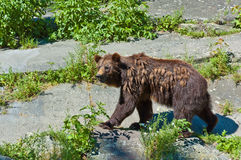 Brown Bear Stock Images