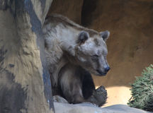 Brown bear in cave Royalty Free Stock Image
