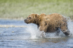 Brown Bear Charge stock photos