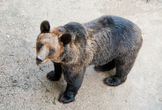 Brown bear in a Chinese zoo Stock Image