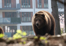 Brown bear in the city Stock Images