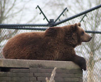 Brown bear in city Stock Photo