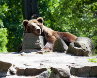 Brown bear in city zoo Stock Photo