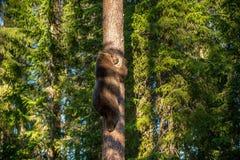 Brown Bear climbing on a Pine tree. Brown Bear Ursus arctos. royalty free stock photography