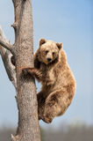 Brown bear climbing. In tree against blue sky Royalty Free Stock Photography