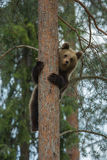 Brown bear climbing tree in forest Royalty Free Stock Photo