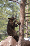 Brown Bear Climbing A Tree Royalty Free Stock Image