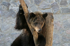 Brown bear clinging to a tree trunk Stock Photos