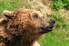 Brown bear close up Stock Images