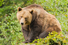 Brown bear close-up. Brown bear in neuschonau germany Stock Photography