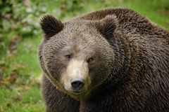 Brown bear, close-up detail portrait. Brown fur coat, danger animal. Fixed look, animal muzzle with eyes. Big mammal from Russia. stock images