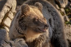 Golden hour bear in Dinaric mountains Royalty Free Stock Photo