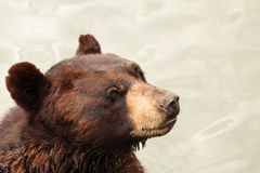 Brown Bear Close-up. Looking ahead Stock Photo