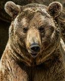Brown bear. Close up shot Royalty Free Stock Photos