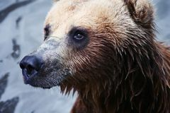 Brown bear. Close-up in Timisoara Zoo, Romania Stock Photo