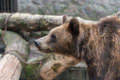 Brown Bear Royalty Free Stock Image