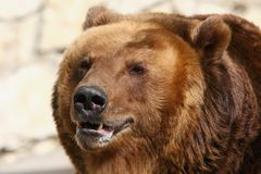 Brown bear. Closeup Stock Photography