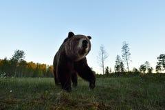 Brown bear closeup in a bog. Brown bear closeup in the bog at summer stock photos