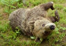 Brown bear closeup Royalty Free Stock Images