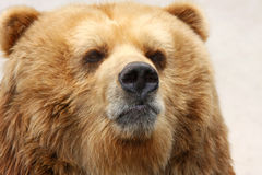 Brown bear closeup portrait Stock Photography
